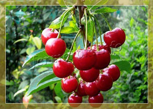 Лучшие низкорослые сорта вишни