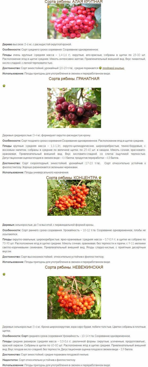 Сорта черноплодной рябины для подмосковья