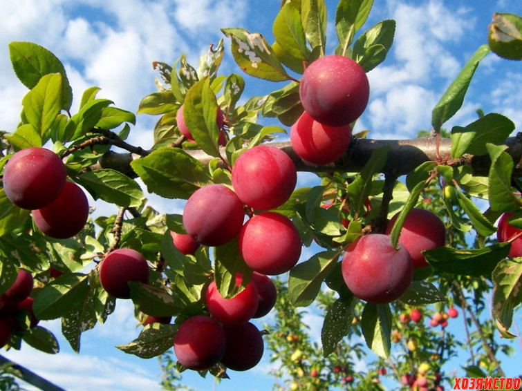 Слива Чернослив — описание сорта, фото, отзывы садоводов