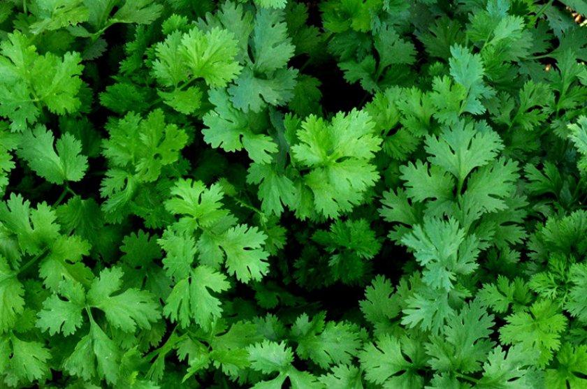 Семена кориандра: лечебные свойства и противопоказания, применение в народной медицине, как заваривать и принимать