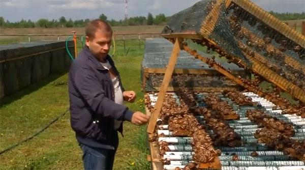 Как выращивать виноградных улиток в подмосковье?