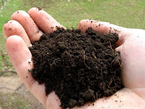 Растение агава: уход в домашних условиях и лечебные свойства