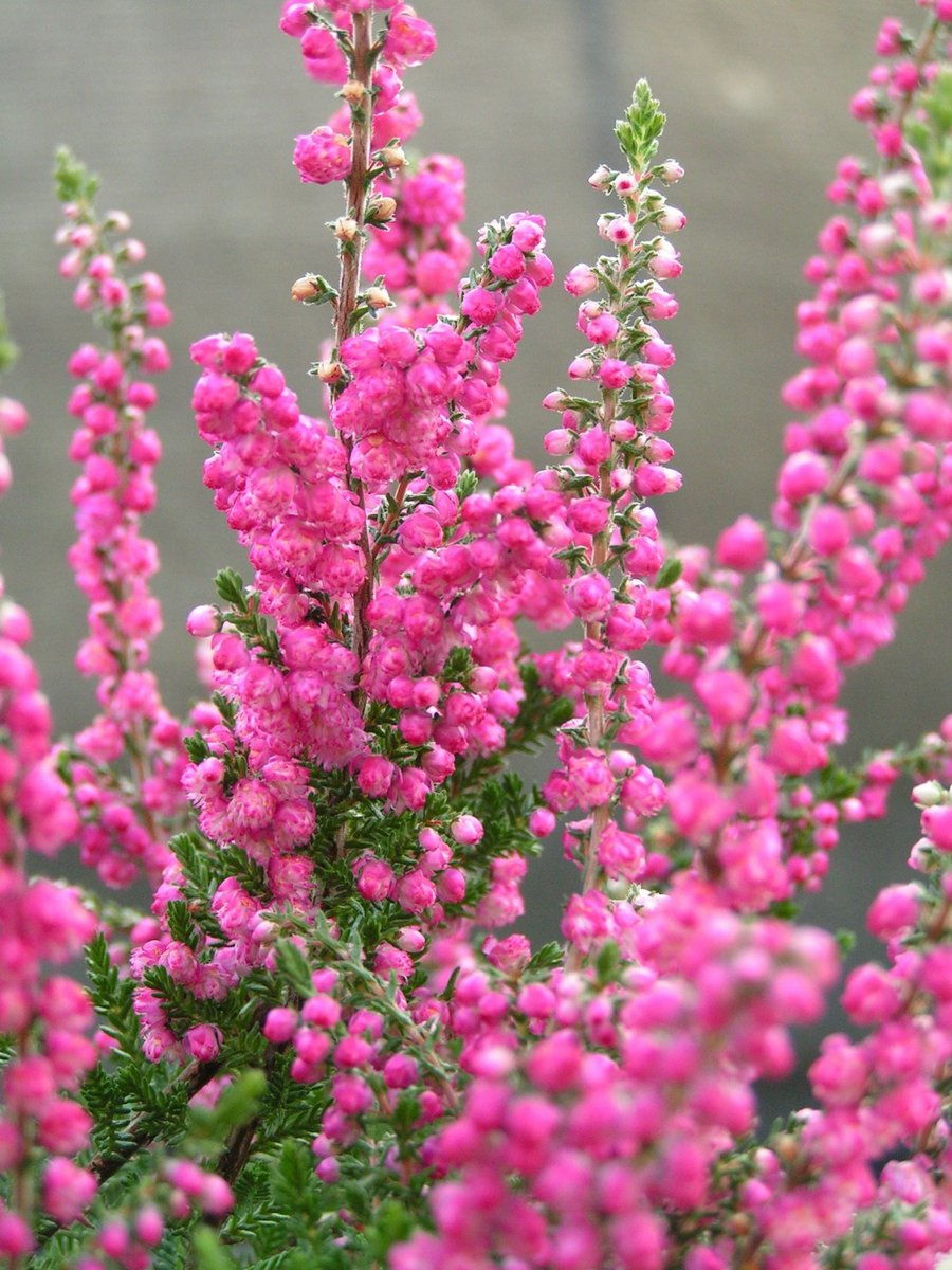 как посадить рукколу на подоконнике из семян