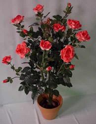 Бордюрная роза в горшке