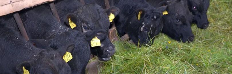 Бизнес план крс готовый. Как организовать бизнес по разведению бычков на мясо? План движения денежных средств