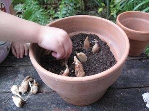 Выращивание фрезии на садовом участке и дома