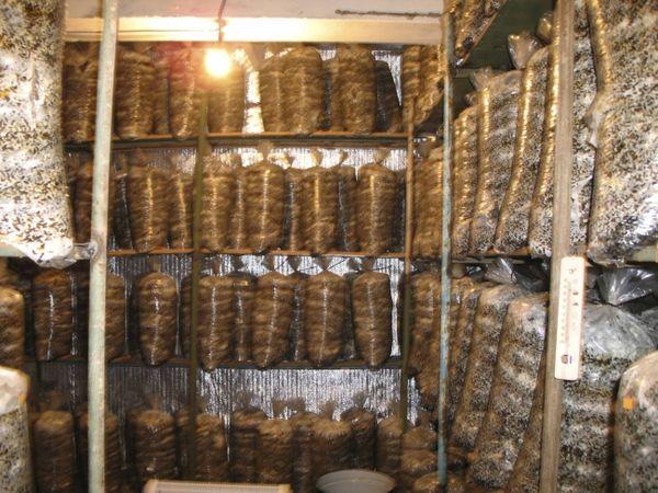 Как выращивать шампиньоны в подвале