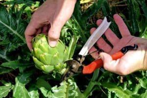 Посадка щавеля семенами весной - как вырастить щавель из семян