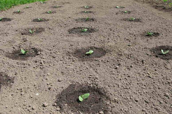 Как растет тыква