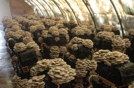 Выращивание грибов вешенки в домашних условиях