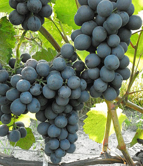 Как правильно выращивать виноград в открытом грунте средней полосы и советы по посадке и уходу для начинающих