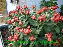 Как вырастить многолетние и однолетние хризантемы из семян