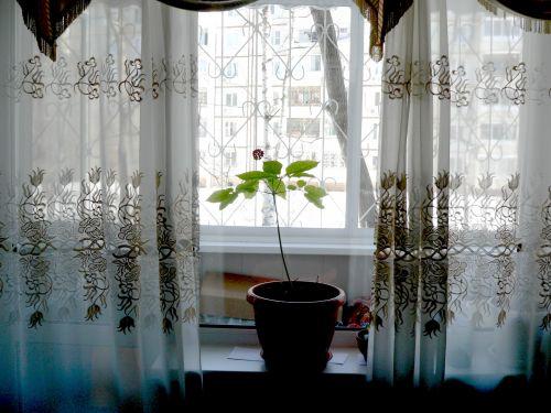 Как вырастить женьшень в домашних условиях