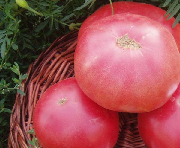 Как выращивать и подвязывать высокорослые помидоры