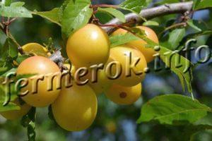 Слива желтая крупноплодная описание сорта