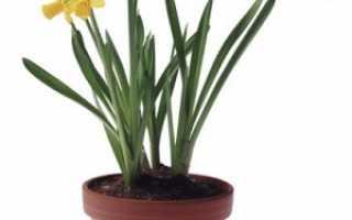 Как выращивать нарциссы в домашних условиях?