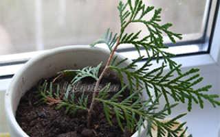 Как выращивать туи в домашних условиях?