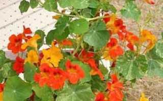 Можно ли выращивать настурцию как комнатное растение?