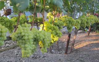 Виноград 10 лучших сортов