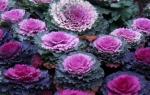 Можно ли выращивать декоративную капусту дома в горшке?