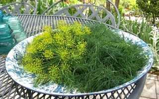 Как правильно выращивать укроп в домашних условиях?