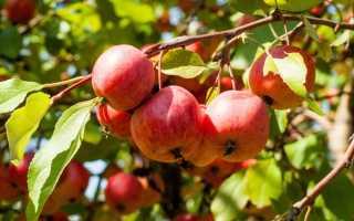 Какие плодовые деревья можно выращивать в квартире?