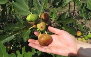 Можно ли выращивать инжир в средней полосе россии?