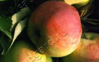 Сорт яблони валюта колоновидная в какой зоне выращивают
