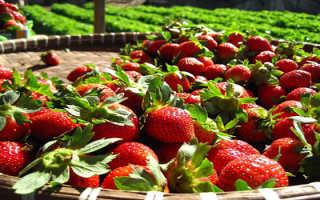Как выращивать клубнику в открытом грунте агроволокно?