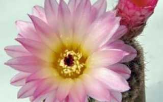 Как в домашних условиях выращивать кактусы в домашних условиях?