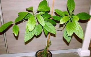 Как выращивать авокадо в домашних?