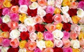 Лучшие сорта роз кордеса