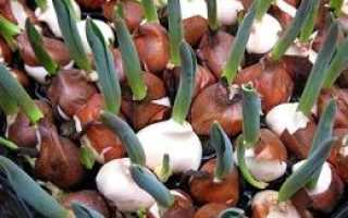 Как выращивать тюльпаны в домашних условиях зимой?