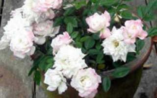 Можно ли бордюрные розы выращивать как комнатные?