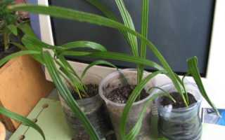 Выращиваем финики из косточки в домашних условиях