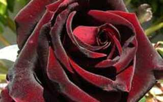 Лучшие сорта черных роз