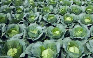 Как правильно выращивать молодую раннюю капусту?