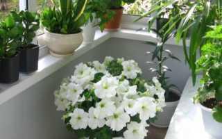 Какие садовые цветы можно выращивать как комнатные?