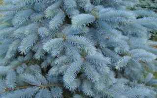 Как выращивать голубую ель в домашних условиях?