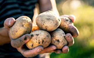 Лучшие сорта картофеля для еды