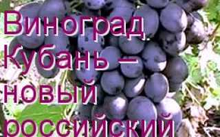 Лучшие сорта винограда кубань