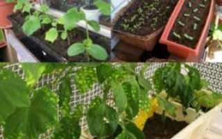 Как выращивать балконные огурцы в домашних условиях?