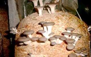 Как можно выращивать белые грибы в домашних условиях?