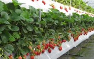 Как выращивать в теплице из поликарбоната клубнику?