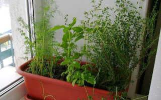 Как правильно выращивать тимьян в домашних условиях?