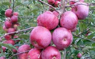 Лучшие сорта яблонь в беларуси