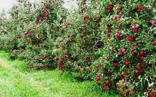 Яблони в подмосковье лучшие сорта