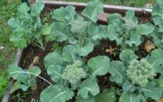 Как выращивать рассаду брокколи в домашних условиях?