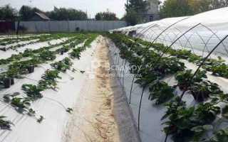 Как выращивать ремонтантную клубнику в открытом грунте?