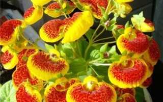 Как выращивать кальцеолярию в домашних условиях?